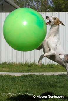 Whippet with a ball